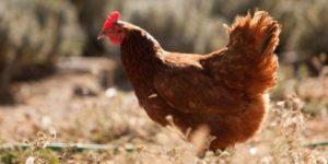 Chicken101 Class at Soul Food Farm @ Soul Food Farm